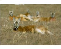 Photographic Print of Mob of red kangaroo (Macropus rufus), Tidbinbilla Reserve, New South Wales, from Robert Harding