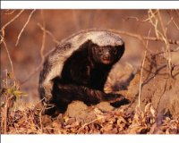 Photographic Print of Honey Badger / Ratel from Ardea Wildlife Pets