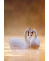 Photographic Print of ROY-519 Mute Swans - Pair in courtship behaviour - Back-lit early morning mist from Ardea